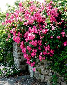 rosier liane sans epine rosier liane planter et entretenir ooreka