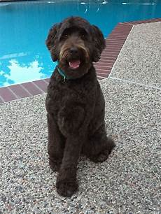 black labradoodle haircuts 25 best labradoodle haircuts for dog lovers page 4 of 6 the paws