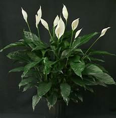 zimmerpflanzen f 252 r wenig licht 21 gr 252 ne und bl 252 hende