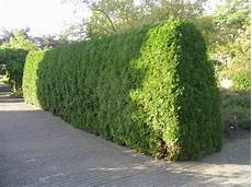 When And How To Trim A Cedar Hedge Laidback Gardener