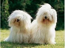 Photos Coton de Tuléar, chiens de race Coton de Tuléar en