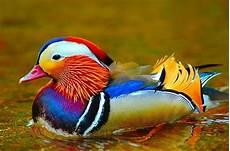 10 Gambar Bebek Cantik Berenang