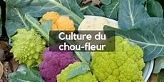 culture du chou fleur astuces pour r 233 ussir sans se