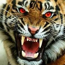 Gambar Minggu Pagi Macan Buleleng March Lovina