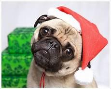 christmas pug christmas pinterest