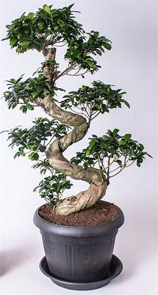 Bonsai Ficus Ginseng S Shape In Anthracite Plasticpot 36cm