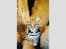 Ocelot   Endangered Big Cats Profile