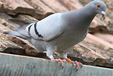 dispositif anti pigeon pigeon quelle solution naturelle contre les pigeons