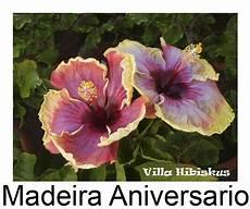 hibiskus eigene zuchten rosa sinensis auch blaue bl 252 ten