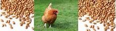 nourriture poules pondeuses quelle alimentation pour ma poule pondeuse