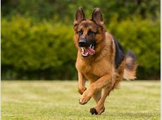 What Was the German Shepherd Bred to Do? ? American Kennel