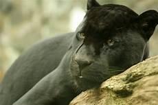jaguar animal noir file black jaguar edin zoo jpg wikimedia commons