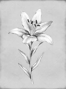 lilly pencil drawing pencil drawing of flower