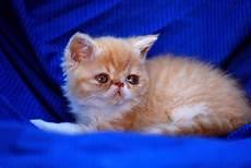 gatti persiani allevamento shirin gatti persiani ed esotici cuccioli