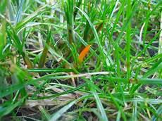 wann wächst rasen temperatur mauerblumen fast schon wie fr 252 hling