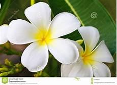 fiore frangipane plumeria fiore frangipane fotografia stock immagine di