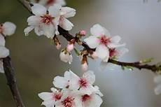 fiori mandorlo fiore di mandorlo foto immagini piante fiori e funghi