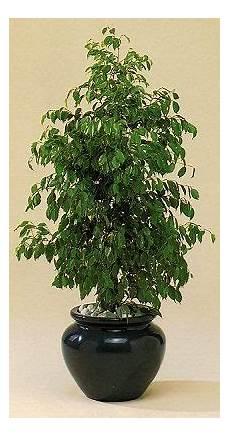 Ficus Benjamina Ficus Pruning