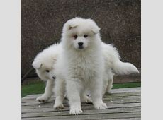 Samojeed pups puppy kopen ? :: Kies en koop een puppy uit