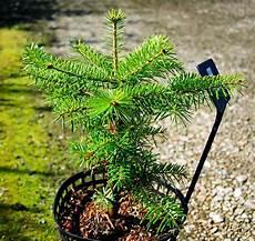 achat sapin nordmann a planter 93312 sapin planter