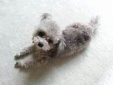 Everything About Your Toy Poodle  LUV My Dogs