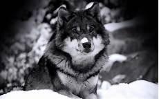 Wolf Desktop Wallpaper Hd free hd wolf wallpapers wallpaper cave