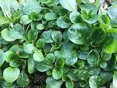 feldsalat im winter spielend leicht an frischen salat kommen