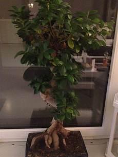Was Hat Mein Bonsai Ginseng Ficus Pflanzen Pflege