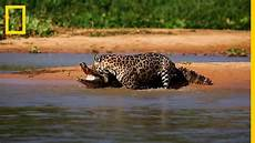 Jaguar Ataca A Un Caiman 161 Impresionante National