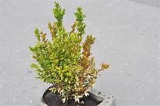 buchsbaum bekommt braune flecken 187 woran kann s liegen