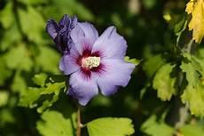hibiskus pflege anleitung als garten und zimmerpflanze