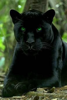 jaguar animal noir beautiful black panther with photo shopped green