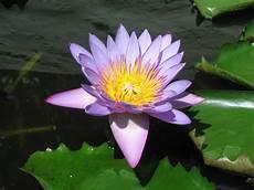 fiore loto il profumo loto antologia con la prefazione l