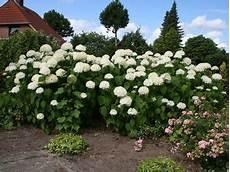 hortensien umpflanzen september ballhortensie annabelle hydrangea arborescens