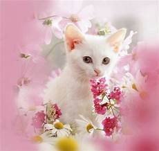 pink kitten wallpaper cat images white kitten and pink flowers cats animals background
