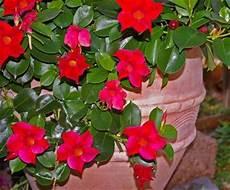 Cultiver Les Plantes Grimpantes En Pots Ou En Bacs