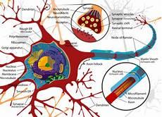 Anatomi Fisiologi Sistem Persarafan Pada Manusia