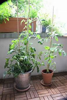 mein balkon tomaten auf dem balkon ernten tipps f 252 r