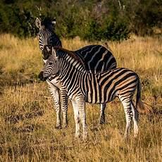 zebra bild zebra bilder tierwelt saugetier fauna savanne wiese