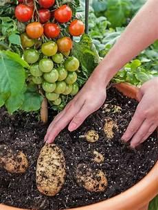 kartoffel tomaten pflanze tomtato or pomato half potato half tomato plant