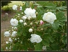 Rosier Grimpant Blanc Abri Jardin Bois
