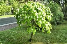 arbre a pousse rapide arbre qui pousse vite notre top 10 des arbres 224