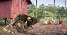 Rats Et Souris 233 Loigner Les Rongeurs Du Poulailler Mes