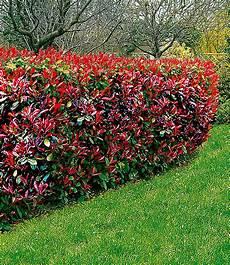 photinia hecke red robin photinia hecke robin 1a heckenpflanzen baldur garten