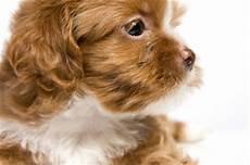 hunderassen mit bild kleine hunderassen hunde ratgeber