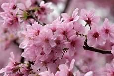 sfondi fiore ciliegio la forzadellanatura s