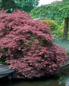 acer erable du japon garnet arbuste feuillage