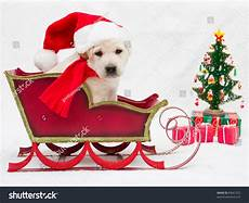 merry christmas portrait of cute labrador puppy in christmas sledge 89661922
