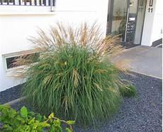 gräser im steingarten miscanthus purpurascens quot adagio quot chinaschilf gr 228 ser