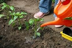 paprika pflanzen pflegen und tipps mein sch 246 ner garten